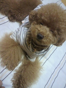 愛犬鈴ちゃん~トイプードル☆ライフスタイル~-2011080622440000.jpg