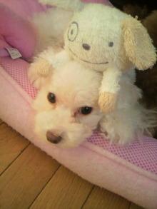 愛犬鈴ちゃん~トイプードル☆ライフスタイル~-2011080911250000.jpg