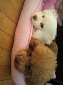 愛犬鈴ちゃん~トイプードル☆ライフスタイル~-2011080911240001.jpg