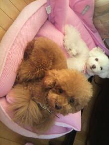 愛犬鈴ちゃん~トイプードル☆ライフスタイル~-2011080911240000.jpg