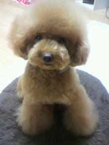愛犬鈴ちゃん~トイプードル☆ライフスタイル~-2011081422520002.jpg