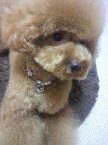 愛犬鈴ちゃん~トイプードル☆ライフスタイル~-2011081422550000.jpg