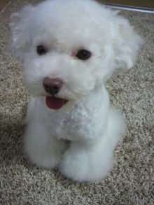 愛犬鈴ちゃん~トイプードル☆ライフスタイル~-2011081517530001.jpg