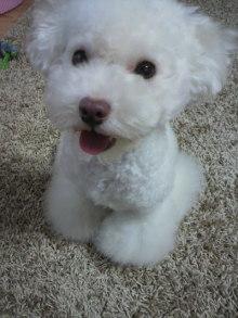 愛犬鈴ちゃん~トイプードル☆ライフスタイル~-2011081517530002.jpg
