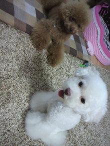 愛犬鈴ちゃん~トイプードル☆ライフスタイル~-2011081517530000.jpg