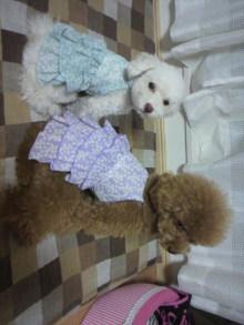 愛犬鈴ちゃん~トイプードル☆ライフスタイル~-2011081618320000.jpg