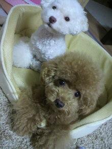 愛犬鈴ちゃん~トイプードル☆ライフスタイル~-2011081618390000.jpg