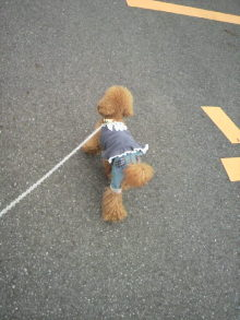 愛犬鈴ちゃん~トイプードル☆ライフスタイル~-2011082013020000.jpg