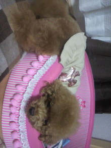 愛犬鈴ちゃん~トイプードル☆ライフスタイル~-2011082101390000.jpg