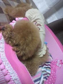 愛犬鈴ちゃん~トイプードル☆ライフスタイル~-2011082101400003.jpg