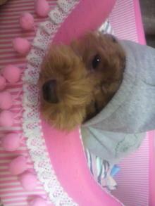 愛犬鈴ちゃん~トイプードル☆ライフスタイル~-2011082621470001.jpg