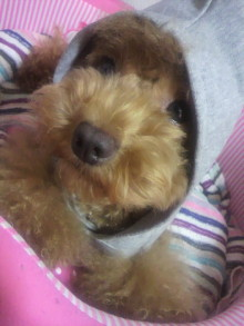 愛犬鈴ちゃん~トイプードル☆ライフスタイル~-2011082621470000.jpg