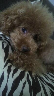 愛犬鈴ちゃん~トイプードル☆ライフスタイル~-2011082709450001.jpg