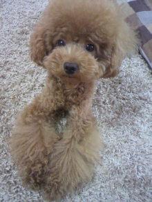 愛犬鈴ちゃん~トイプードル☆ライフスタイル~-2011082916520002.jpg