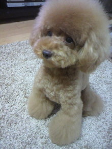 愛犬鈴ちゃん~トイプードル☆ライフスタイル~-2011082917500000.jpg