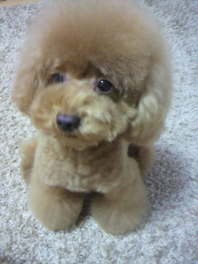 愛犬鈴ちゃん~トイプードル☆ライフスタイル~-2011082917480001.jpg