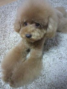 愛犬鈴ちゃん~トイプードル☆ライフスタイル~-2011082917480000.jpg