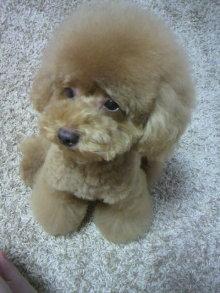 愛犬鈴ちゃん~トイプードル☆ライフスタイル~-2011082917490000.jpg