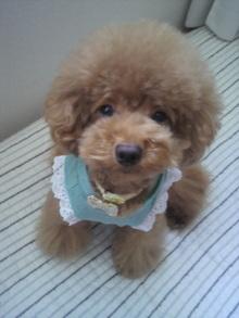 愛犬鈴ちゃん~トイプードル☆ライフスタイル~-2011083008280000.jpg