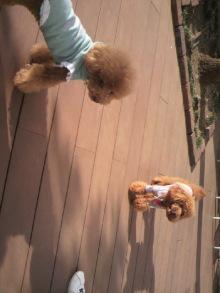 愛犬鈴ちゃん~トイプードル☆ライフスタイル~-2011083016150001.jpg