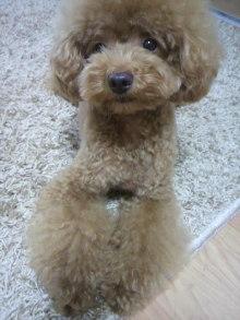愛犬鈴ちゃん~トイプードル☆ライフスタイル~-2011083017120001.jpg