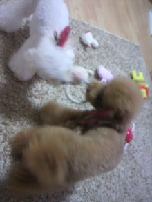 愛犬鈴ちゃん~トイプードル☆ライフスタイル~-2011090522080002.jpg