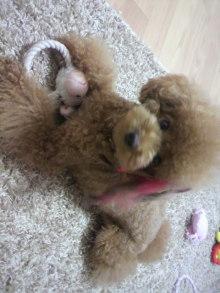 愛犬鈴ちゃん~トイプードル☆ライフスタイル~-2011090522090000.jpg