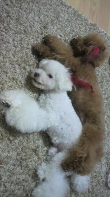 愛犬鈴ちゃん~トイプードル☆ライフスタイル~-2011090522130000.jpg
