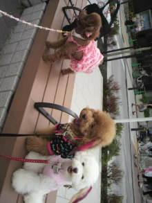 愛犬鈴ちゃん~トイプードル☆ライフスタイル~-2011090613330001.jpg