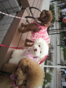 愛犬鈴ちゃん~トイプードル☆ライフスタイル~-2011090613350000.jpg