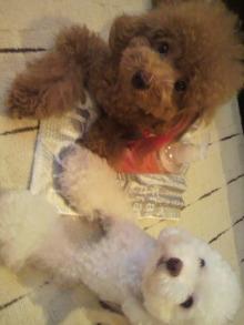 愛犬鈴ちゃん~トイプードル☆ライフスタイル~-2011090616000000.jpg