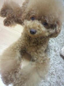 愛犬鈴ちゃん~トイプードル☆ライフスタイル~-2011091419260002.jpg