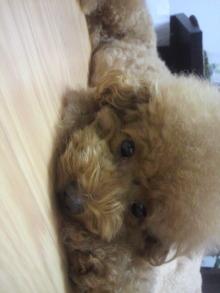 愛犬鈴ちゃん~トイプードル☆ライフスタイル~-2011091419260000.jpg