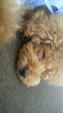 愛犬鈴ちゃん~トイプードル☆ライフスタイル~-2011091512450001.jpg