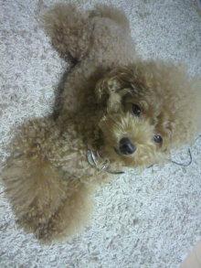 愛犬鈴ちゃん~トイプードル☆ライフスタイル~-2011091619320001.jpg