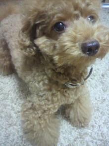 愛犬鈴ちゃん~トイプードル☆ライフスタイル~-2011091619330000.jpg