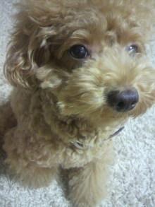 愛犬鈴ちゃん~トイプードル☆ライフスタイル~-2011091619330001.jpg