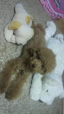 愛犬鈴ちゃん~トイプードル☆ライフスタイル~-2011091619520000.jpg