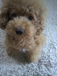 愛犬鈴ちゃん~トイプードル☆ライフスタイル~-2011091913020000.jpg
