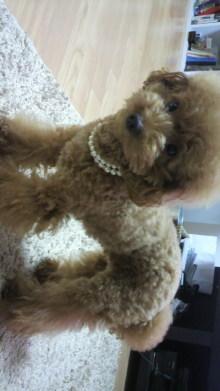 愛犬鈴ちゃん~トイプードル☆ライフスタイル~-2011091917150000.jpg
