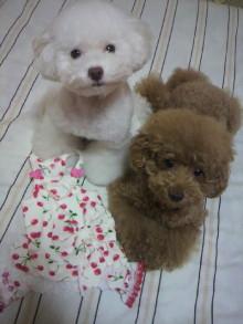 愛犬鈴ちゃん~トイプードル☆ライフスタイル~-2011092021530000.jpg