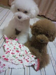 愛犬鈴ちゃん~トイプードル☆ライフスタイル~-2011092021540000.jpg