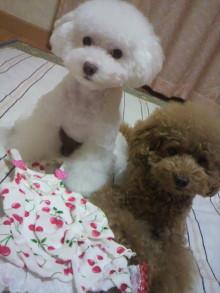 愛犬鈴ちゃん~トイプードル☆ライフスタイル~-2011092021540001.jpg