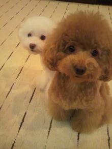 愛犬鈴ちゃん~トイプードル☆ライフスタイル~-2011092216420001.jpg