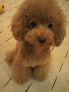 愛犬鈴ちゃん~トイプードル☆ライフスタイル~-2011092216430000.jpg