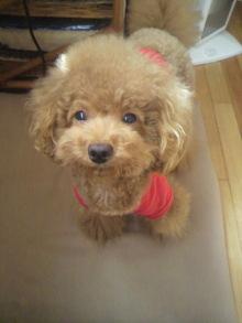愛犬鈴ちゃん~トイプードル☆ライフスタイル~-2011092411410000.jpg