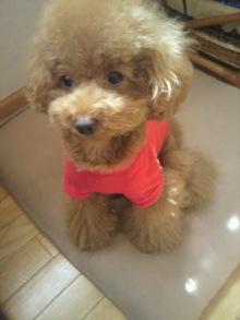 愛犬鈴ちゃん~トイプードル☆ライフスタイル~-2011092411410001.jpg