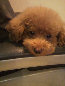 愛犬鈴ちゃん~トイプードル☆ライフスタイル~-2011092821230000.jpg