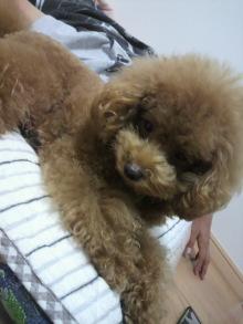 愛犬鈴ちゃん~トイプードル☆ライフスタイル~-2011093022170000.jpg
