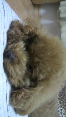 愛犬鈴ちゃん~トイプードル☆ライフスタイル~-2011093023000000.jpg